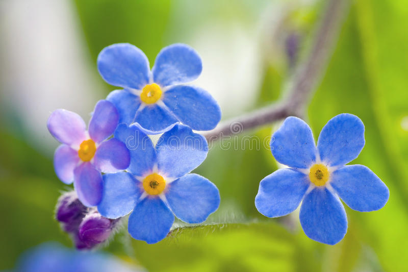 Download Forget me not stock photo. Image of bloom, garden, beautiful - 31763410