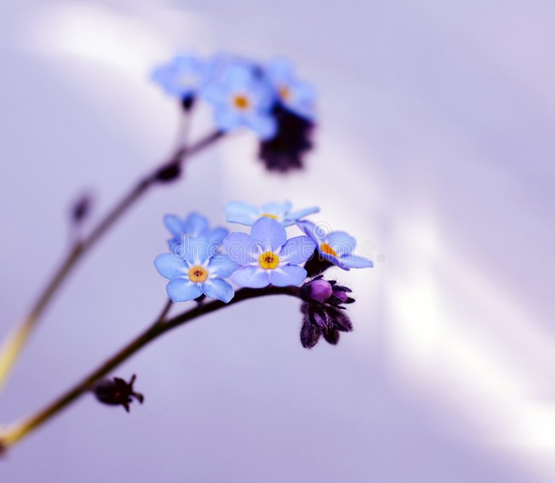 Download Forget-me-not double stock photo. Image of forget, plant - 2251778