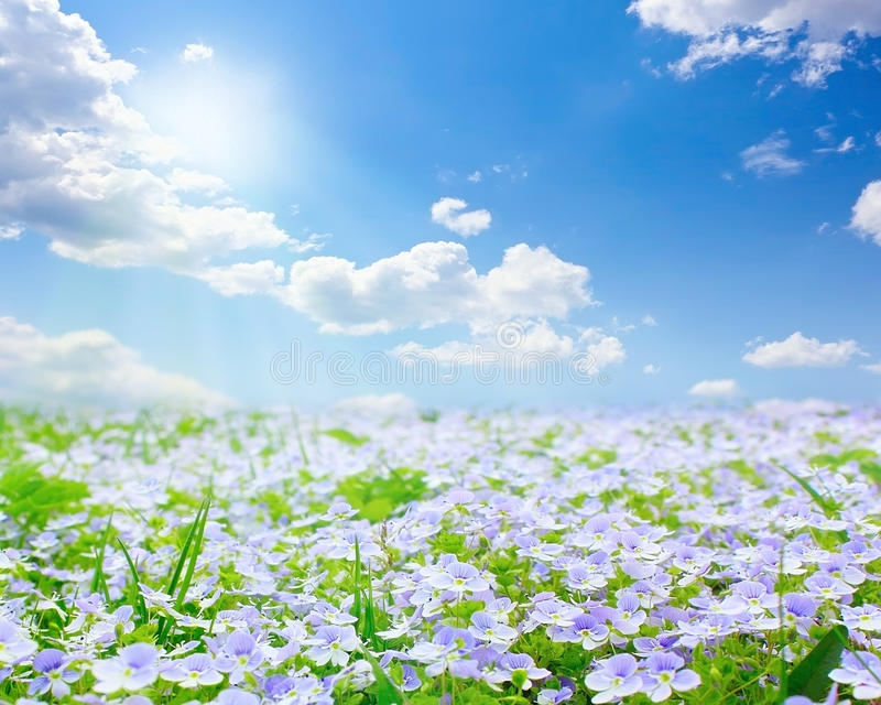 Download Forget-me-not field stock photo. Image of blue, fresh - 22790322