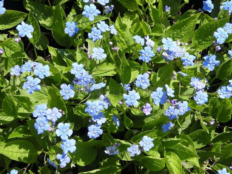 Download Forget-me-not flower stock image. Image of flower, spring - 14269147
