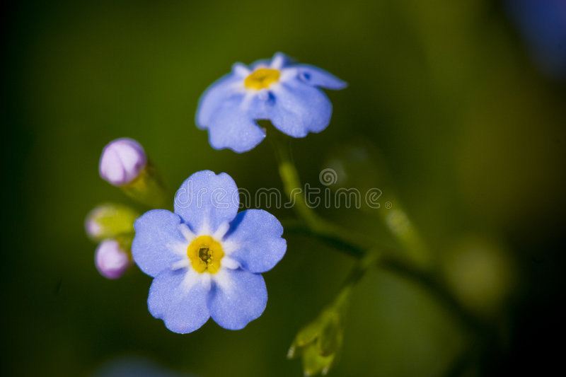 Forget me not flower royalty free stock photos