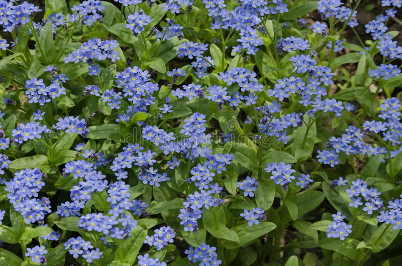 Forget-me-not flower background in garden stock images