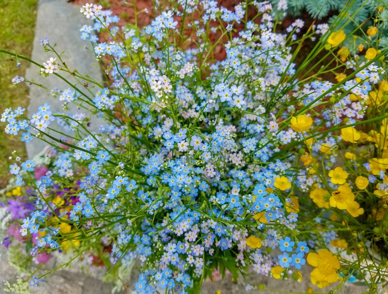 Forget me not flower bouquet royalty free stock photo