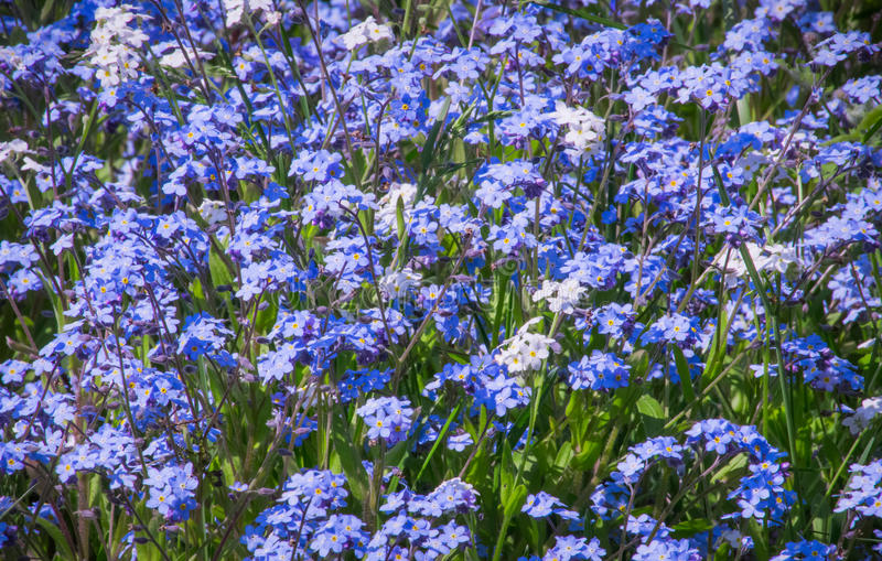 Forget-me-not flower carpet stock photos