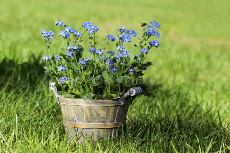 Forget me not flower in grey wooden pot stock photography