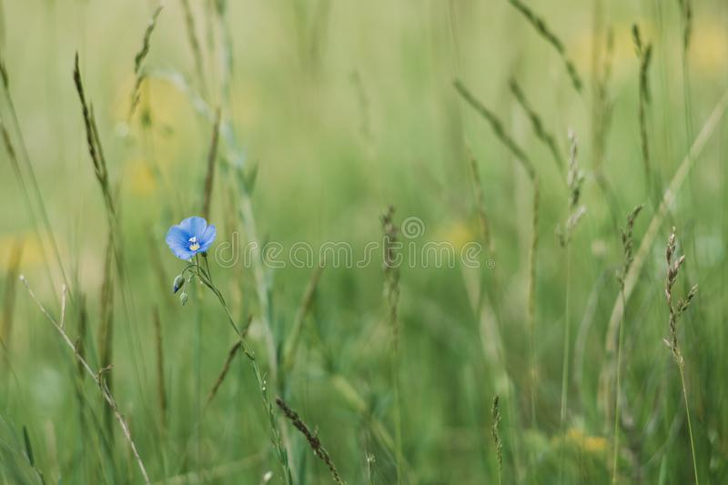 Blue wildflowers on the meadow royalty free stock photo