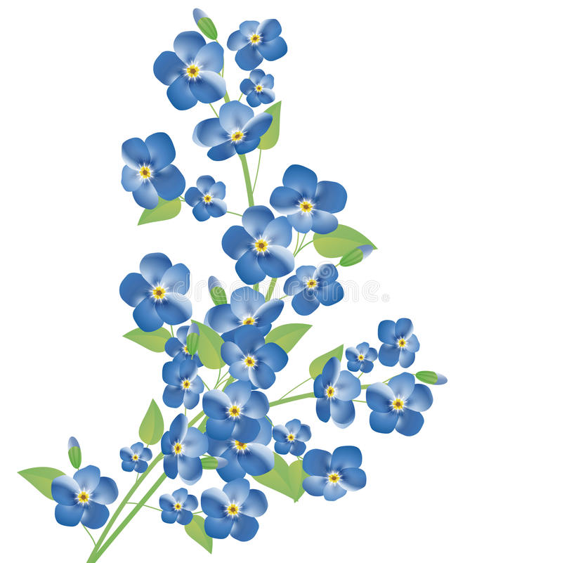 Forget-me-not flowers vector illustration