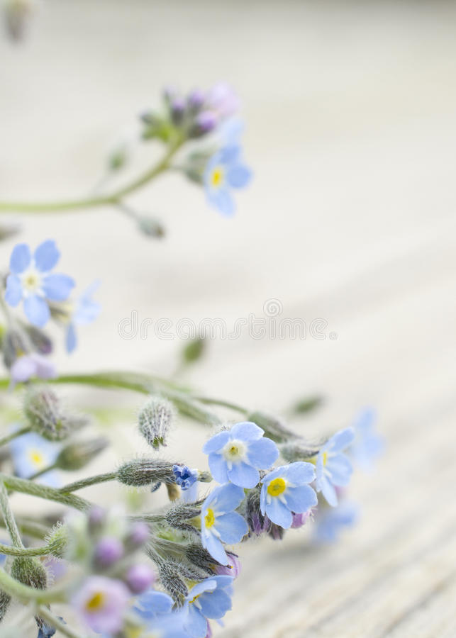 Free Forget-me-not Flowers Royalty Free Stock Photos - 31867648