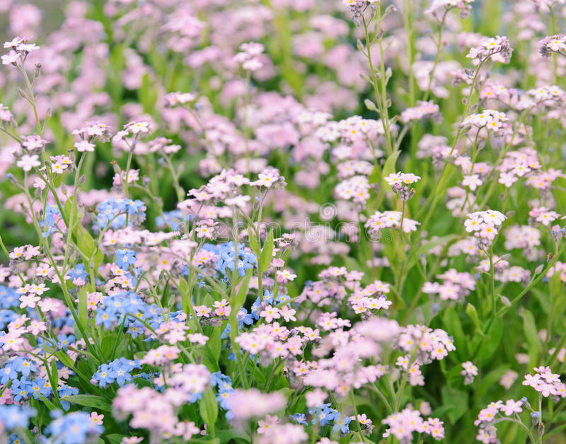 Download Forget-me-not flowers stock photo. Image of blooming - 30669550