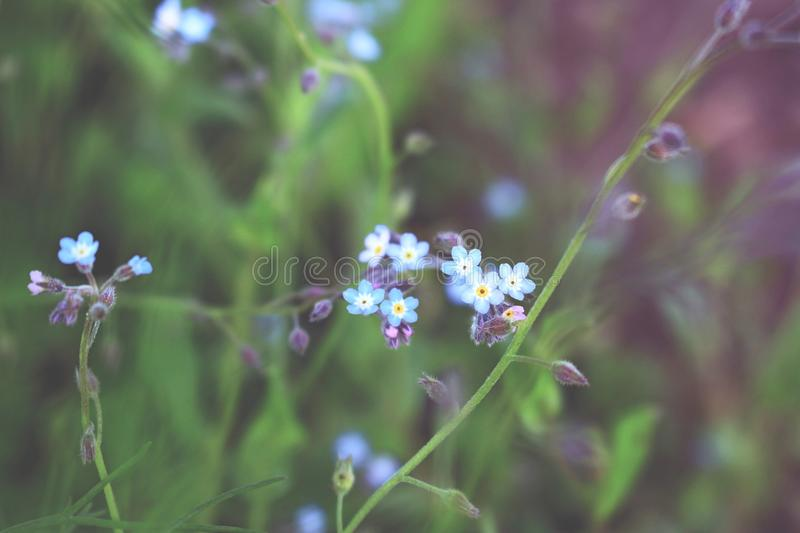 Forget me not flowers on blurred background royalty free stock photo