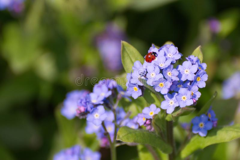 Forget me not flowers with a ladybird / lady bug. Blue forget me not flowers in sunshine with a seven spotted native ladybird in the UK royalty free stock images