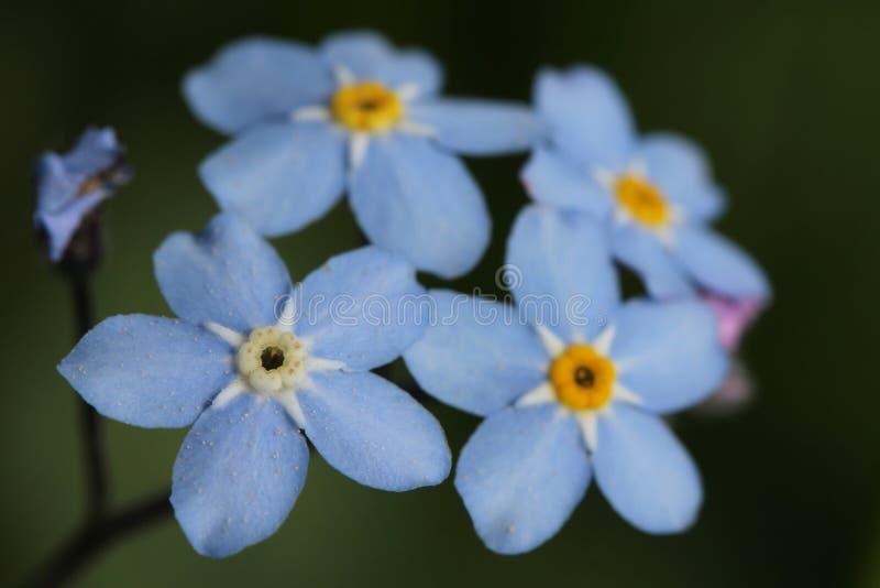 Download Forget-me-not Flowers (Myosotis) Stock Image - Image: 25047547