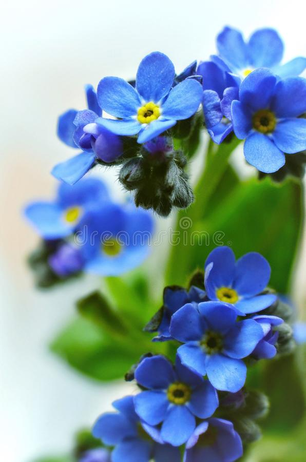 Forget me not. Forgetmenot, flowers, macro royalty free stock photos
