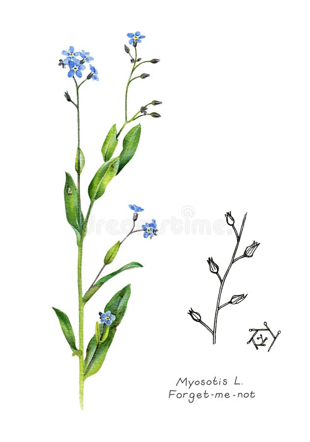 Forget-me-not. Garden plant. royalty free stock photos
