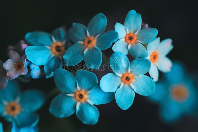 Forget-me-not, myosotis on a black background. Beautiful bright blue flowers with a yellow middle close-up. Macro, top. Forget-me-not, myosotis on a black stock photography