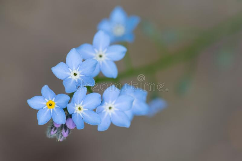Forget-me-not, myosotis, blue flowers and buds stock images