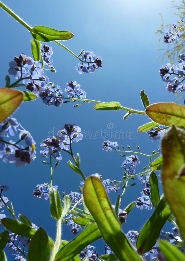 Forget Me Not Plant. View of Forget Me Not plant against blue sky stock photos