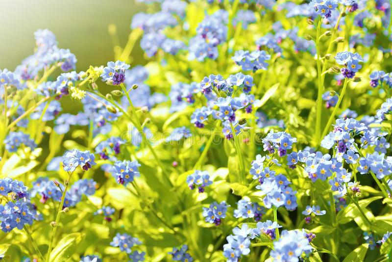 Forget me not plant. Closeup of the Forget me not plant (Myosotis sylvatica). This plant has small blue blossom and green leaves stock photo