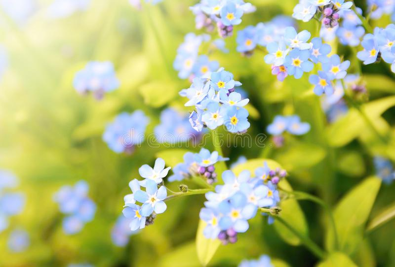 Forget me not plant. Closeup of the Forget me not plant (Myosotis sylvatica). This plant has small blue blossom and green leaves stock image