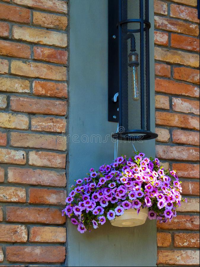 Forget-me-not and a ray of sunshine against a brick wall Odessa, Ukraine - July 2019 royalty free stock image