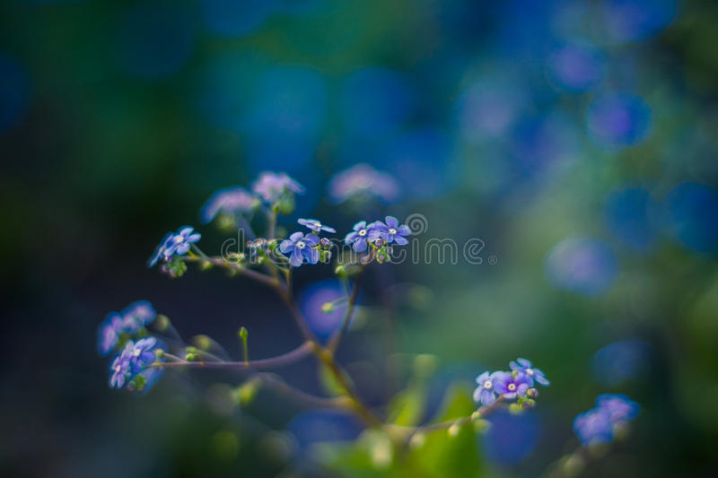 Forget me not, small flowers in the shape of a heart. Forget-me-not flowers vase/ background royalty free stock photos
