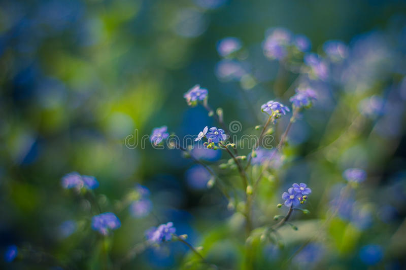 Forget me not, small flowers in the shape of a heart. Forget-me-not flowers vase/ background royalty free stock image