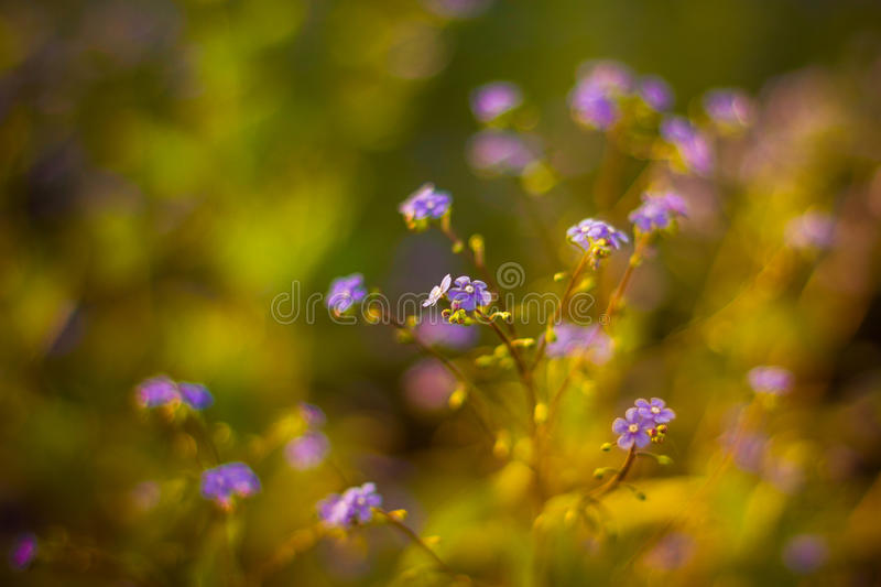Forget me not, small flowers in the shape of a heart. Forget-me-not flowers vase/ background stock photo