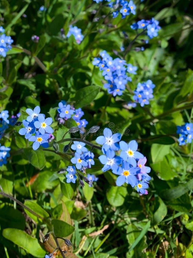 Forget me not wild flowers garden stock image