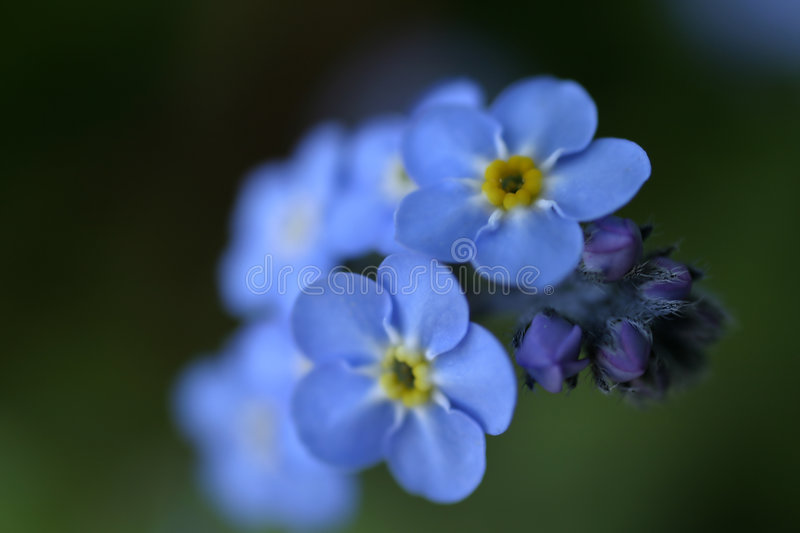 Forget-Me-Nots 2 royalty free stock photo