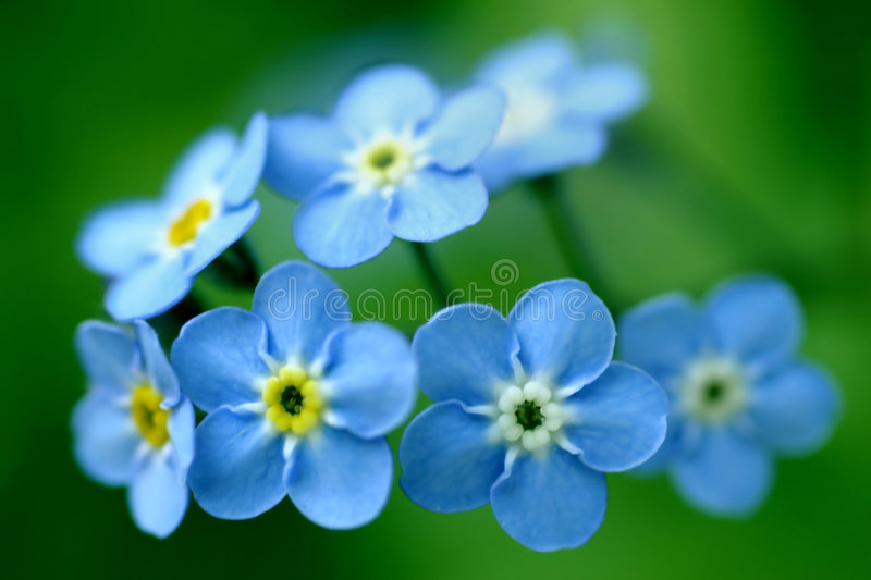 Forget-Me-Nots royalty free stock images