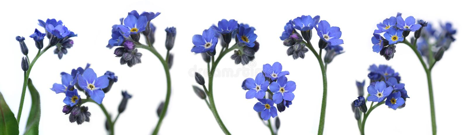 Download Forget-me-nots stock photo. Image of close, gardening, flower - 722672