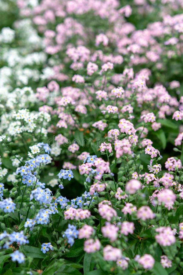Forget-me-nots or Myosotis, flowering is spring plant, floral background. Forget-me-nots flowers or Myosotis, flowering is spring plant, floral background stock photography