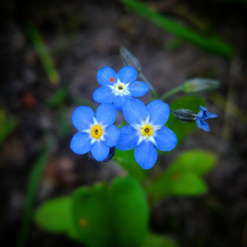 Forgetmenot. Beautiful blue forgetmenot stock photography