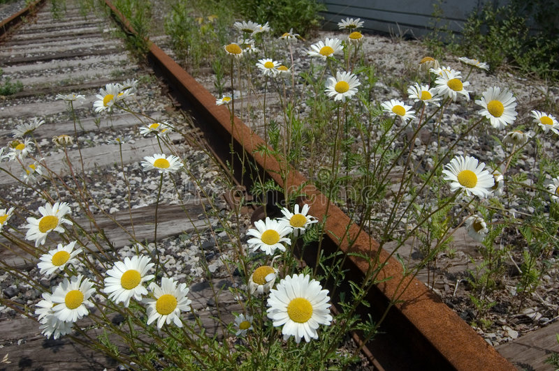Forgotten railroad. Camomiles growing on a forgotten railroad royalty free stock image