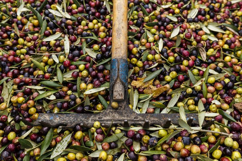 Fork over olives harvested during harvesting season to make olive oil, ready to be carried to mill, Priorat, Tarragona, Catalonia. Spain royalty free stock photos