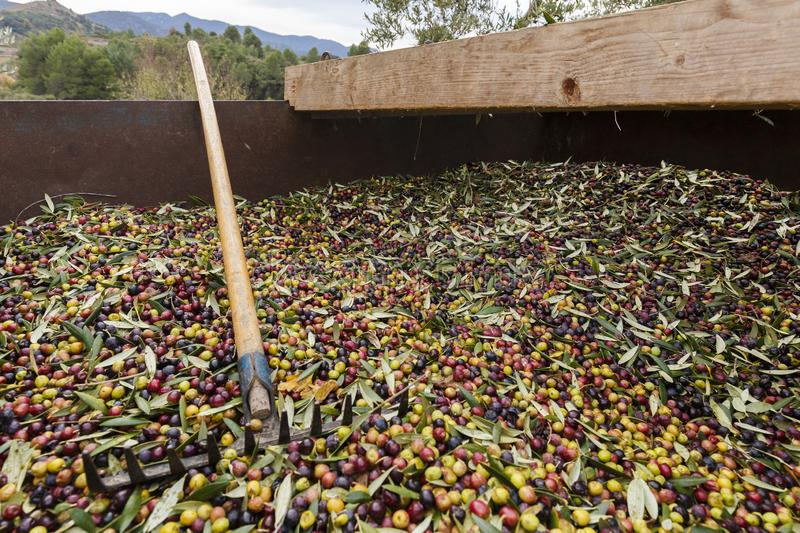 Fork over olives harvested during harvesting season to make olive oil, ready to be carried to mill, Priorat, Tarragona, Catalonia. Spain stock images