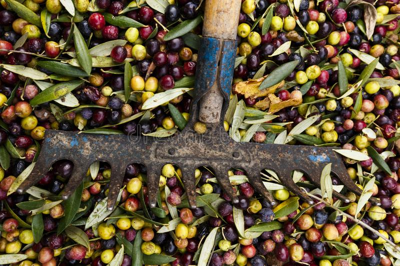 Fork over olives harvested during harvesting season to make olive oil, ready to be carried to mill, Priorat, Tarragona, Catalonia. Spain stock image