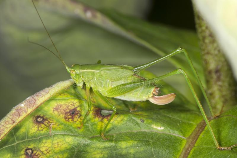 Fork tailed bush katydid nymph on milkweed leaf in Connecticut. stock images