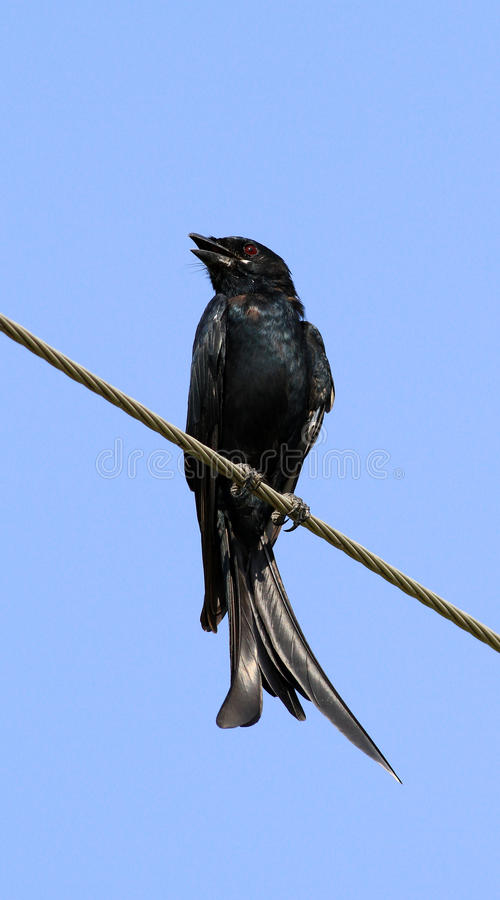 Download Fork-tailed drongo stock photo. Image of feathering, beak - 16237150