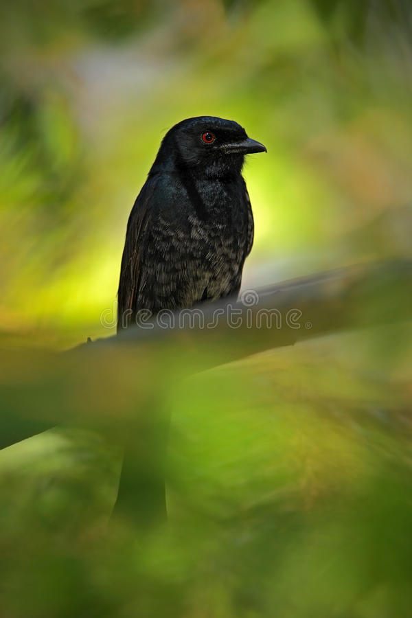 Fork-tailed Drongo, Dicrurus adsimilis, detail of exotic grey black african bird with red eye, hidden in the green forest nature stock images
