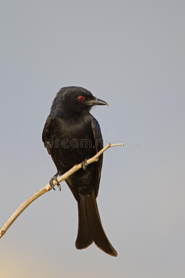 Fork-tailed Drongo perched on dry twig royalty free stock photo