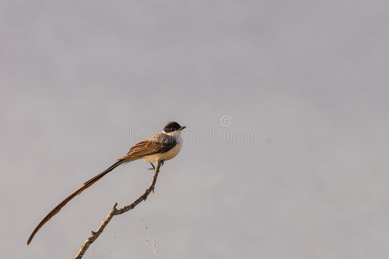 Fork-tailed Flycatcher stock images