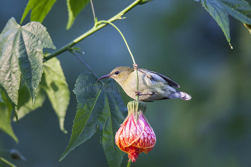 Fork-tailed Sunbird stock images