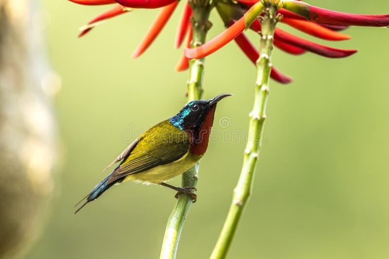 Fork tailed Sunbird Formal Name: Aethopyga christinae, Male royalty free stock photo