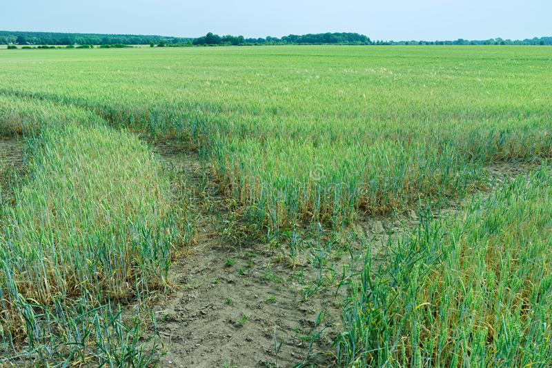 Fork in the tractor tracks in a a green filed cereal plants against cloudy blue sky stock photos