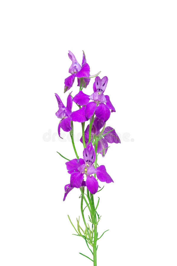 Forking Larkspur on white background. royalty free stock images