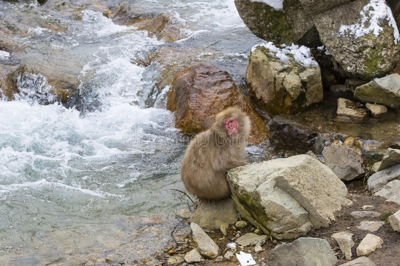 Forlorn Snow Monkey Sitting by Rapids. A brown, red-faced, fuzzy wild snow monkey with a sad, forlorn look on its face sits on some rocks as the frothy water royalty free stock photo