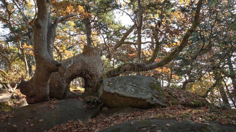 Formação arqueada incomum do tronco de árvore imagem de stock