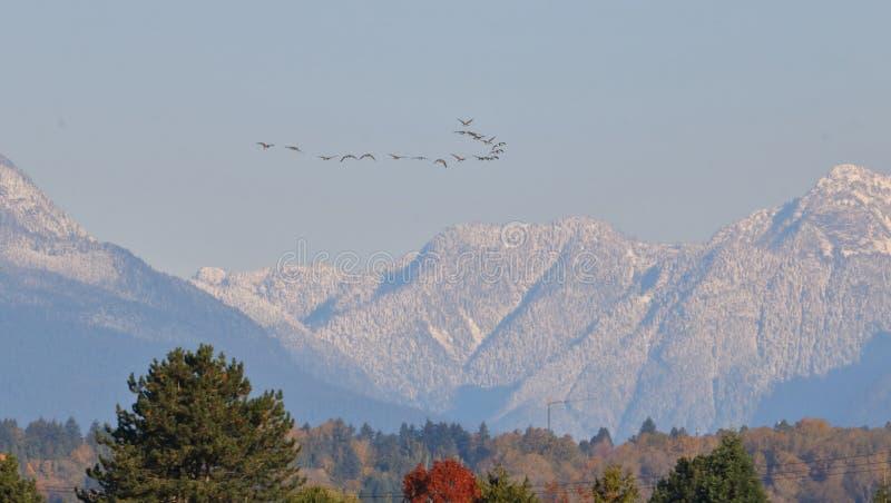 Formação da migração de gansos de Canadá imagem de stock