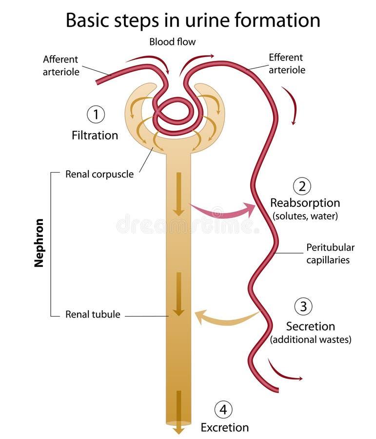 Formação de urina ilustração royalty free